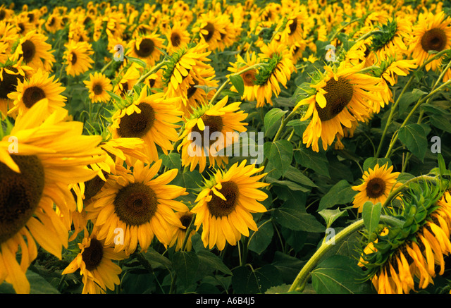 Europe France Provence Midi Field of Sunflowers Growing Helianthus Harvest - Stock Image