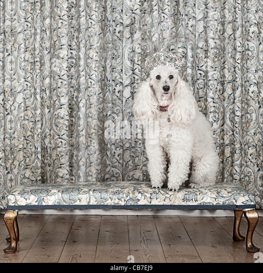 Miniature French Poodle with Tiara - Stock-Bilder