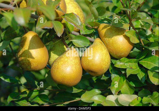 Common pear (Pyrus communis 'General Leclerc', Pyrus communis General Leclerc), cultivar General Leclerc, - Stock Image