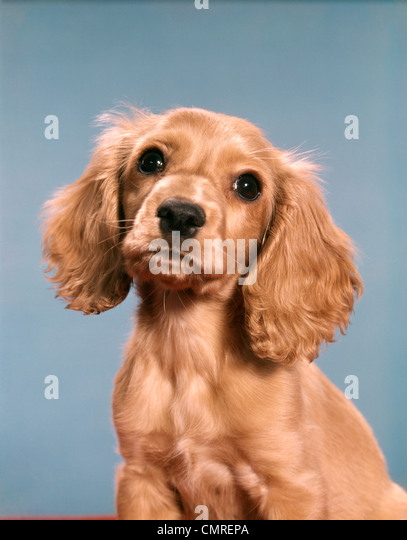 1980s CUTE COCKER SPANIEL PUPPY LOOKING AT CAMERA - Stock Image