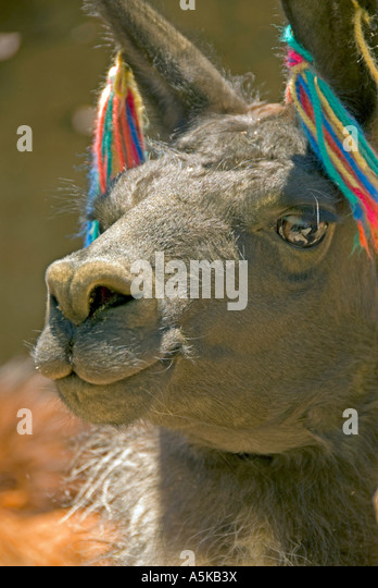 Chile llama mouth and nose closeup detail, humor humour - Stock Image