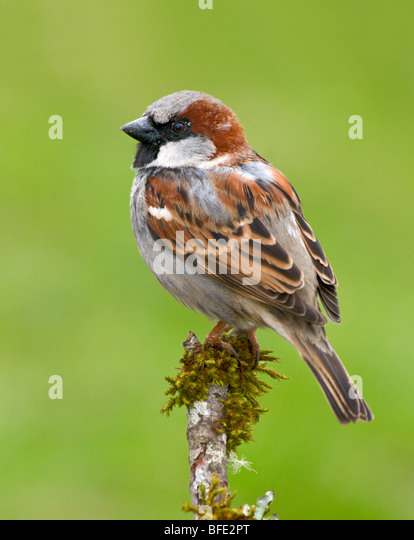 Male House sparrow (Passer domesticus) on perch at Victoria, Vancouver Island, British Columbia, Canada - Stock Image