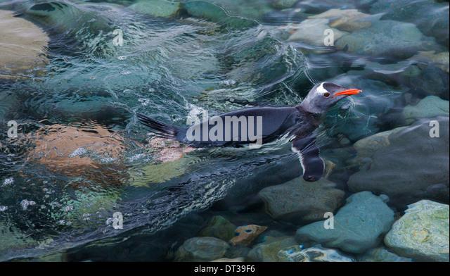 Gentoo penguin swimming in the sea, Antarctica - Stock Image