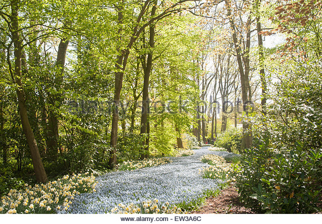Keukenhof show gardens Forest glade with a river of Muscari and Narcissus. - Stock Image