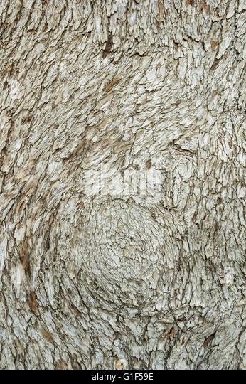 cedar of lebanon tree bark background texture - Stock Image