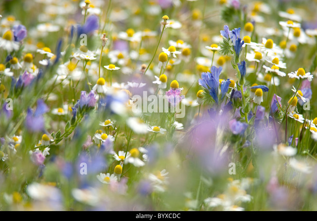 Wildflower Meadow Lesvos Greece - Stock Image