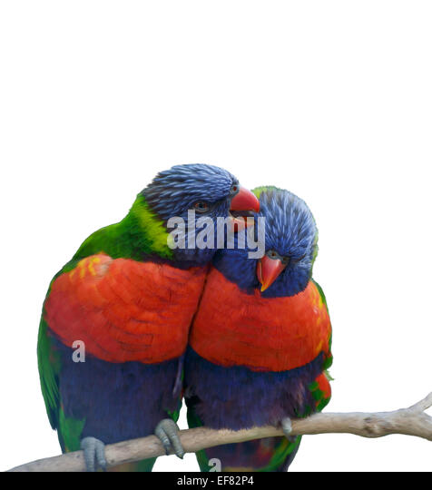 Digital Painting Of Rainbow Lorikeet Parrots - Stock-Bilder