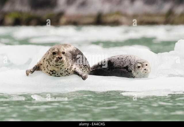 Iceberg,Alaska,Harbor Seal,Endicott Arm - Stock Image