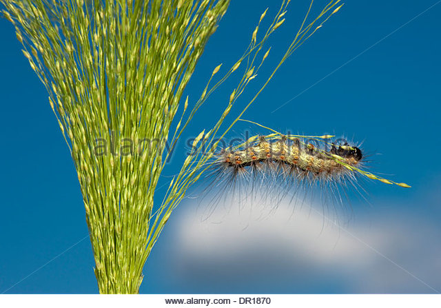 Caterpillar eats meadow plant. - Stock Image