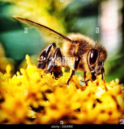 Bee on yellow flower - Stock Image