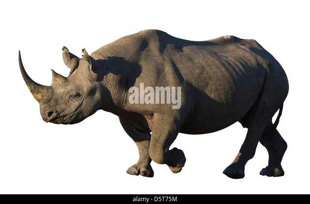 Black rhinoceros cutout - Stock Image