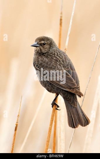 Tri-colored Blackbird (Agelaius tricolor) perched on reed at marsh nest site, Kern County, California, USA - Stock Image
