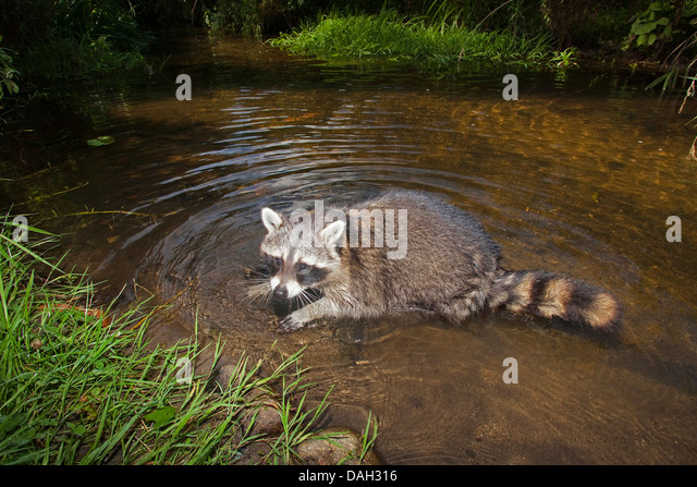 common raccoon (Procyon lotor), six month old male bathing, Germany - Stock Image
