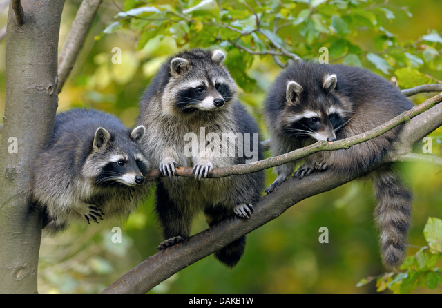 common raccoon (Procyon lotor), three raccoons sitting next to each other on a branch, Germany - Stock Image