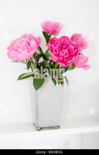 Pink Peonies. Latin Name: Paeonia - Stock Image