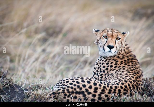Cheetah, Acinonyx  jubatus, Seeking prey, Masai Mara National Reserve, Kenya, Africa - Stock Image