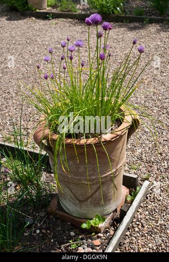 how to grow garlic chives in pots