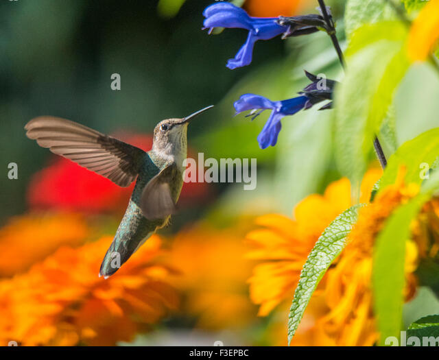 Birds, Black Chinned Hummingbird sucking nector from Anise Sage flower, Idaho, USA - Stock Image