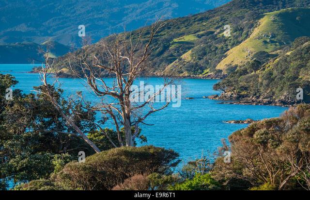Dead tree, Waitete Bay, Coromandel, New Zealand Coromandel Peninsular - Stock Image