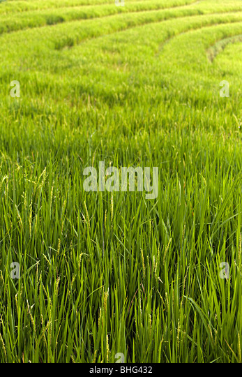 Rice plants in indonesia - Stock Image