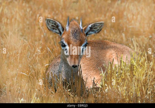 Kirk's dikdik, Kirk's dik-dik, Damara dik-dik (Madoqua kirkii), lying in the grass, Tanzania - Stock-Bilder