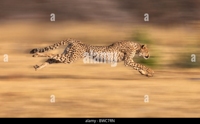 Cheetah chasing prey at full stride, Namibia - Stock Image
