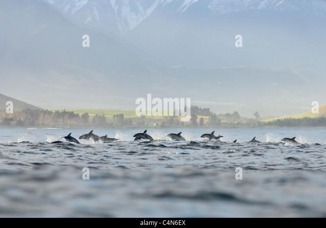 Dusky dolphin ( Lagenorhynchus obscurus) Kaikoura, New Zealand - Stock-Bilder