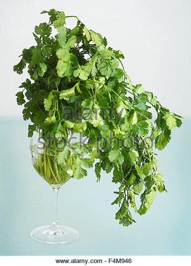 Cilantro stock in a glass - Stock Image