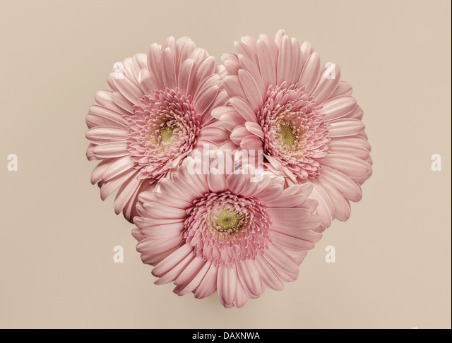 Three pink Gerberas - Stock Image