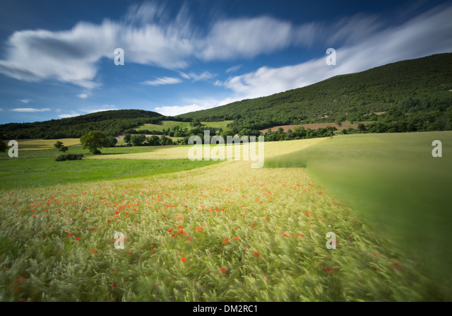 poppies, in barley field near Campi, Umbria, Italy - Stock Image