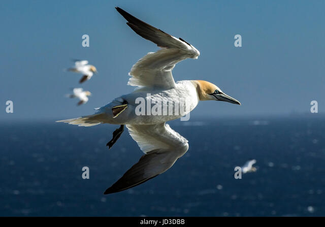 Northern Gannet (Morus bassanus) in flight at Cape St. Mary's Ecological Reserve, Cape St. Mary's, Avalon - Stock Image
