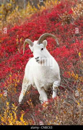 A Dall sheep ram stands in colorful Autumn bushes in Denali National Park and Preserve, Interior Alaska - Stock Image