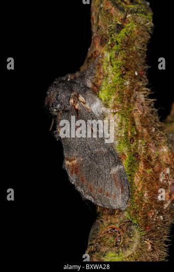 Iron Prominent (Notodonta dromedarius) adult at rest on twig, Oxfordshire, UK - Stock Image