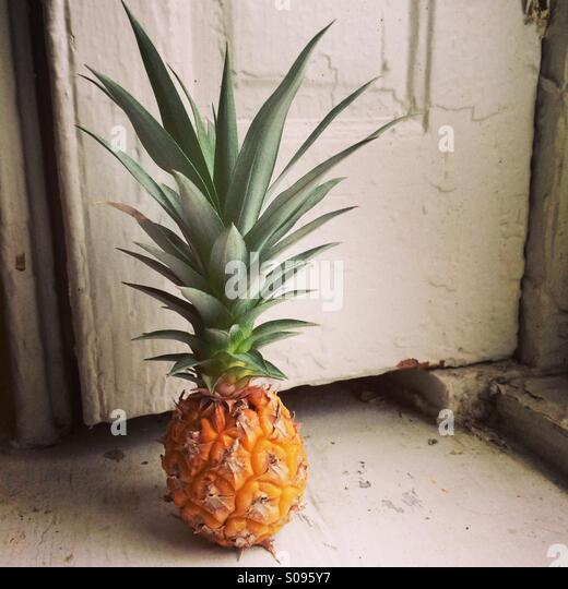Tiny pineapple on windowsill. - Stock Image