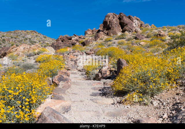 Yellow Blooms Cover the Ground Along Dirt Trail leading up a set of stairs - Stock Image
