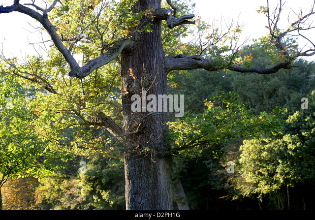 Old Oak Tree with Branches Resembling Arms. - Stock Image