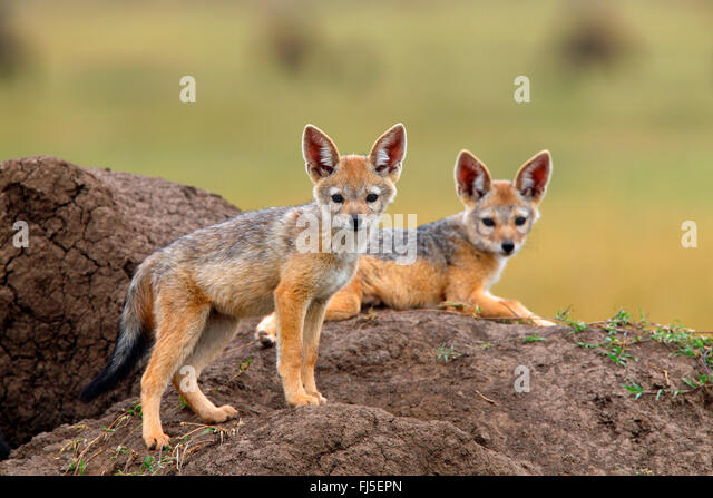 black-backed jackal (Canis mesomelas), two cubs at the den, Kenya, Masai Mara National Park - Stock Image