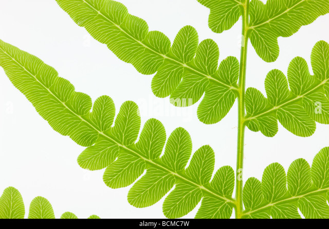 macro shot of partial view of spring fern isolated on white - Stock Image