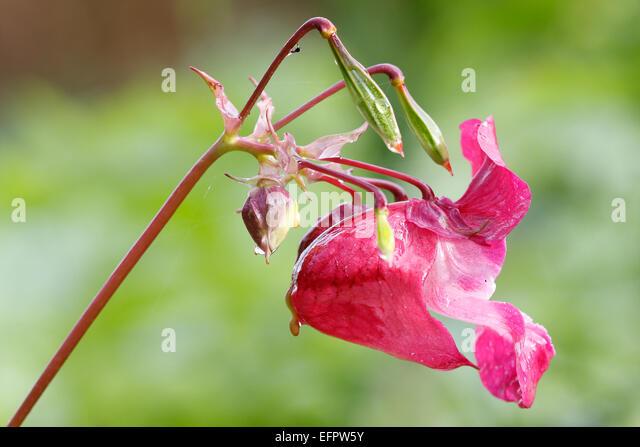 Himalayan Balsam (Impatiens glandulifera), flower, Germany - Stock Image