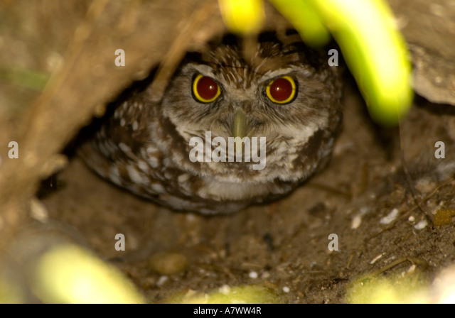 Burrowing owl Athene cunicularia in its burrow - Stock Image