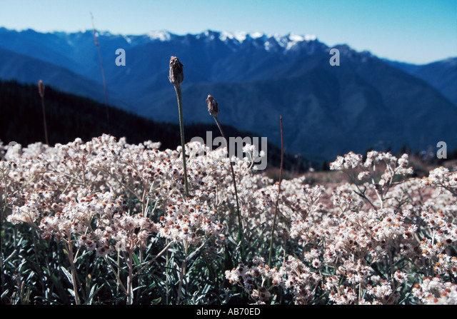 Flowers frame a view of Olympic National Park from Hurricane Ridge in Sept Washington COPYRIGHT DUANE BURLESON - Stock Image