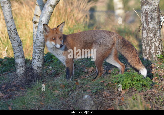 Red Fox (Vulpes vulpes) - rescued from the wild - Stock Image