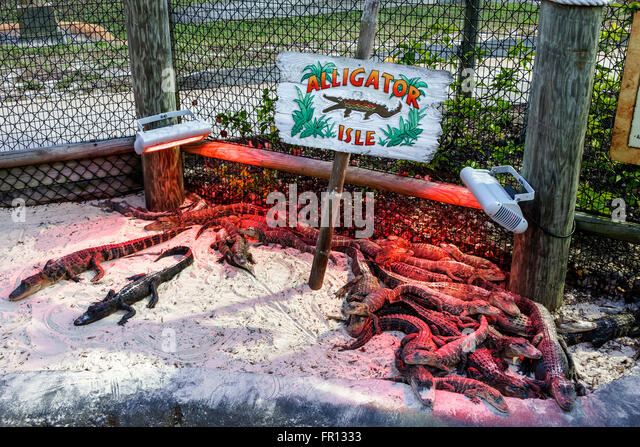 Florida FL New Port Richey baby juvenile alligators gators heat lamp Congo River Miniature Golf Course - Stock-Bilder
