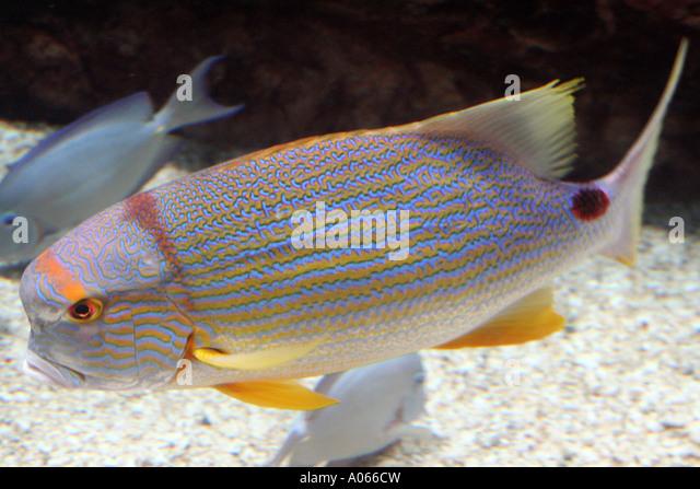 Marine fish - Stock Image