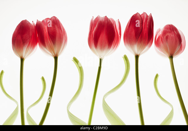 five red tulips on a white background - Stock-Bilder
