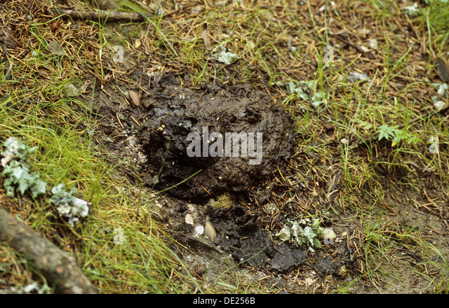 mammal droppings faeces stock photos mammal droppings faeces stock images alamy. Black Bedroom Furniture Sets. Home Design Ideas
