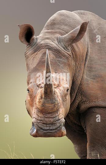Close-up portrait of White Rhinoceros; Ceratotherium Simum; South Africa - Stock Image