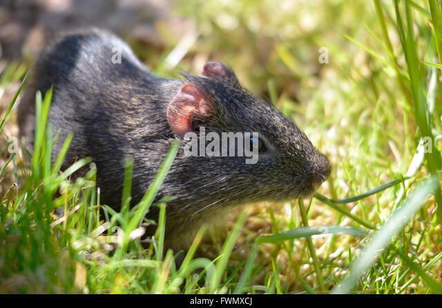 Closeup of wild Guinea pig, Cavia aperea, in grass - Stock Image