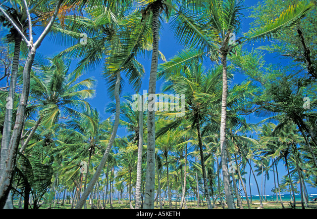 Dominican Republic Samana Peninsula cooconut palm trees open space copy space text space type space - Stock Image