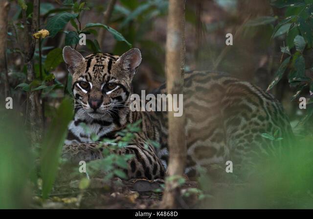 A wild Ocelot (Leopardus pardalis) from South Pantanal, Brazil - Stock Image